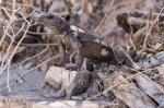 Piewesta Peak - Lizard